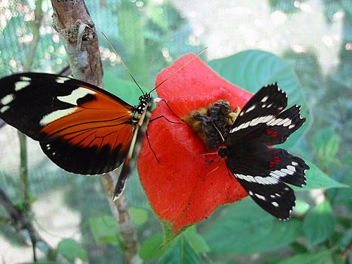 Schmetterlinge in Panama