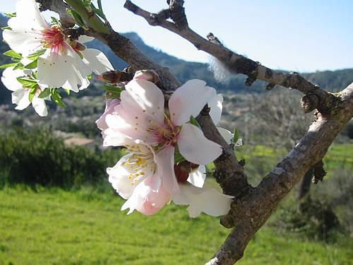 Blühende Mandelbäume auf Mallorca
