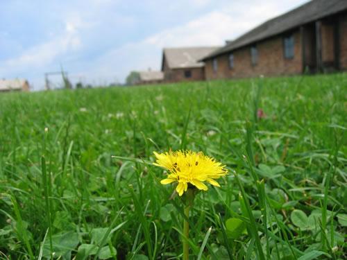 Blume auf einer Wiese im Konzentrationslager Auschwitz II
