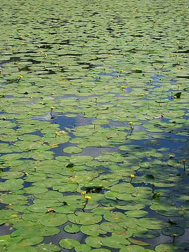 Seerosen im Schweriner See