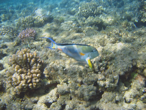 Unterwasserwelt beim Schnorcheln im Roten Meer vor Safaga