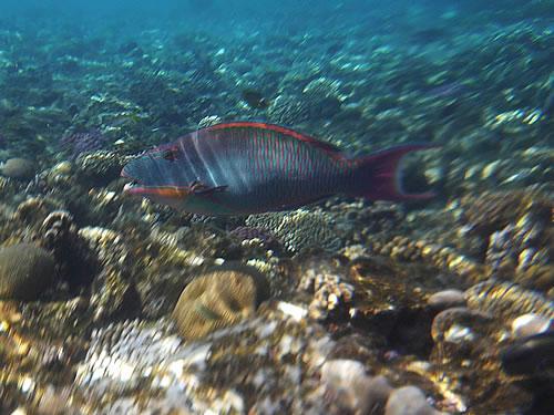 Fisch beim Schnorcheln