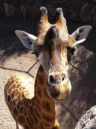 Giraffe im Oasis Park in La Lajita
