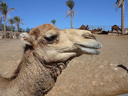 Kamel im Oasis Park in La Lajita