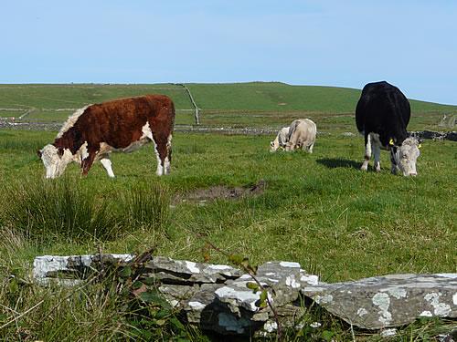 Kühe auf einer Wiese in der irischen Grafschaft Clare